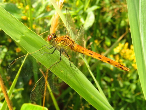 Kempense heidelibel (Sympetrum depressiusculum) vrouwtje