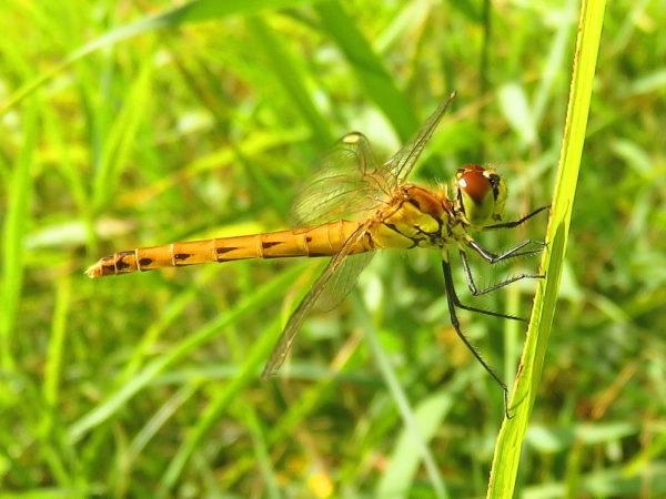Kempense heidelibel (Sympetrum depressiusculum) jong vrouwtje
