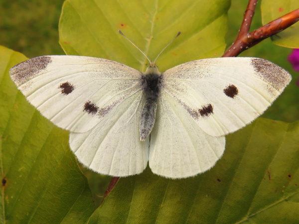 Klein koolwitje (Pieris rapae) vrouwtje