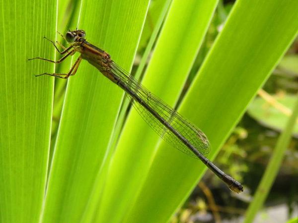 Lantaarntje (Ischnura elegans) vrouwtje