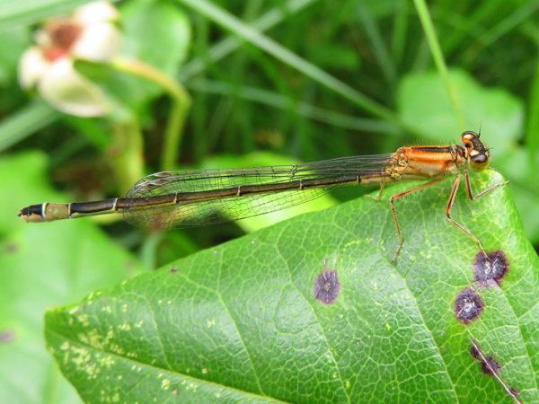 Lantaarntje (Ischnura elegans) vrouwtje bruin oranje vorm