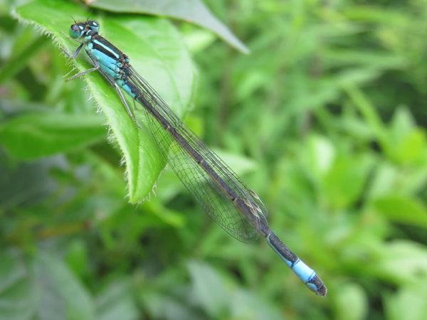 Lantaarntje vrouwtje blauw