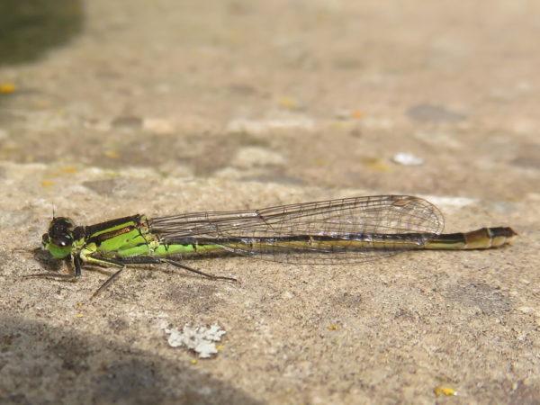 Lantaarntje (Ischnura elegans) vrouwtje groene vorm
