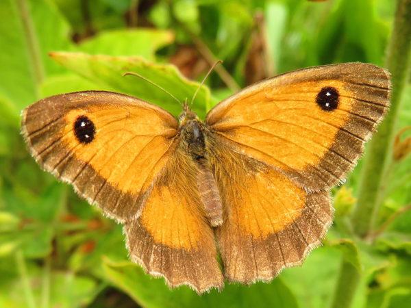 Oranje zandoogje (Pyronia tithonus) vrouwtje