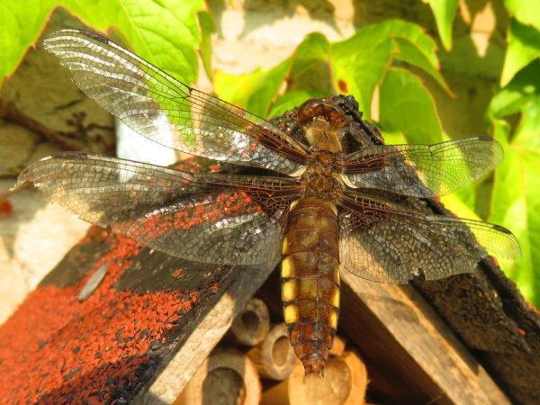 Platbuik(Libellula depressa) vrouwtje