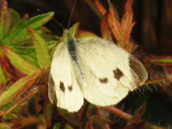 Scheefbloemwitje (Pieris mannii) vrouwtje