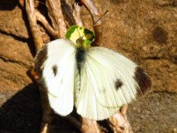 Scheefbloemwitje (Pieris mannii) mannetje
