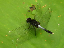 Sierlijke witsnuitlibel (Leucorrhinia caudalis) mannetje
