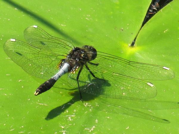 Sierlijke witsnuitlibel mannetje (Leucorrhinia caudalis)