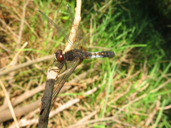 Sierlijke witsnuitlibel vrouwtje (Leucorrhinia caudalis)