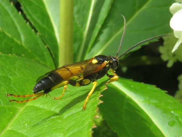 Sluipwesp Ichneumon xanthorius mannetje