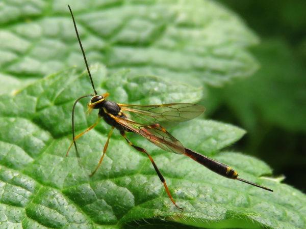 Sluipwesp Ichneumonidae Anomaloninae