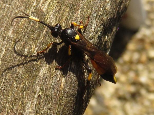 Sluipwesp Ichneumon stramentor vrouwtje