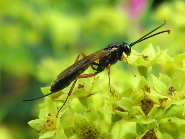 Sluipwesp (Ichneumonidae spec.)