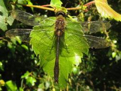Smaragdlibel (Cordulia aenea) mannetje