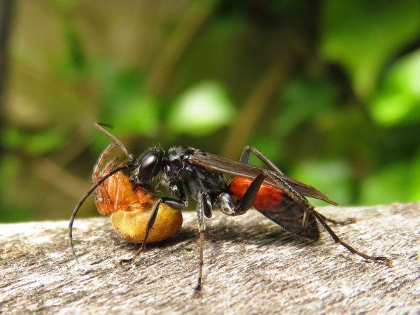 Tuinspinnendoder (Caliadurgus fasciatellus)