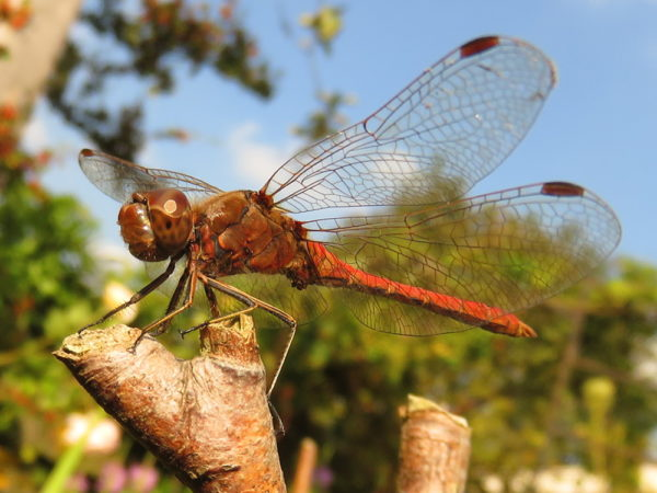 Steenrode heidelibel (Sympetrum vulgatum) mannetje