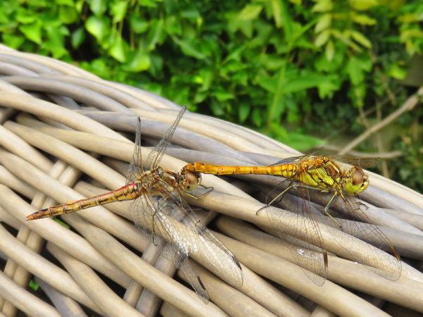 Steenrode heidelibel mannetje en vrouwtje