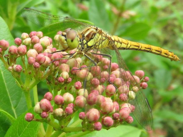 Steenrode heidelibel (Sympetrum vulgatum) vrouwtje