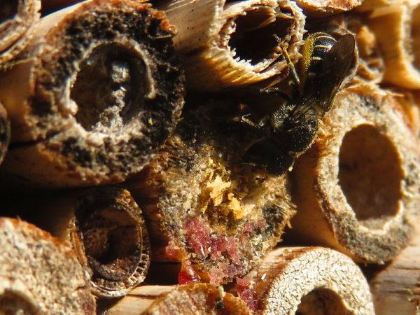 Tronkenbij (Heriades truncorum) vrouwtje