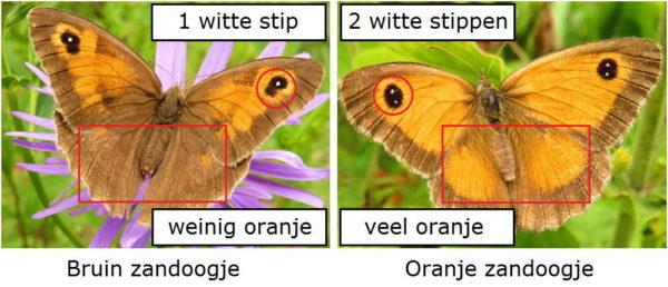 Verschil Bruin zandoogje en Oranje zandoogje bovenkant vleugel