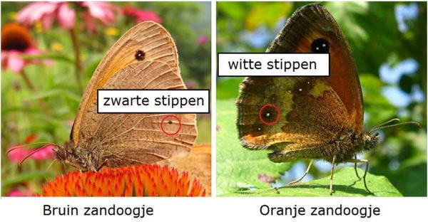Verschil Bruin zandoogje en Oranje zandoogje onderkant vleugel