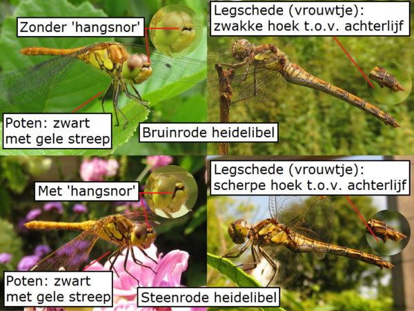 Verschil Bruinrode heidelibel en steenrode heidelibel