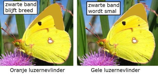 Verschil Oranje luzernevlinder en Gele luzernevlinder