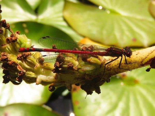 Vuurjuffer (Pyrrhosoma nymphula) mannetje