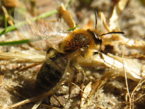 Witbaardzandbij (Andrena barbilabris) vrouwtje