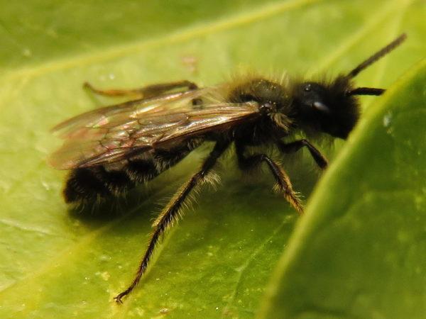 Tweekleurige zandbij (Andrena bicolor) mannetje