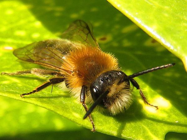 Viltvlekzandbij (Andrena nitida) mannetje