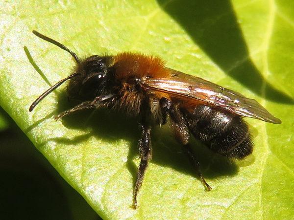 Variabele zandbij (Andrena varians) vrouwtje