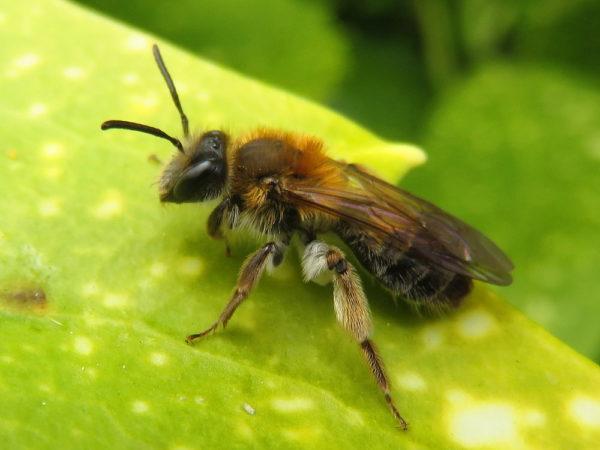 Valse Rozenzandbij (Andrena helvola) vrouwtje