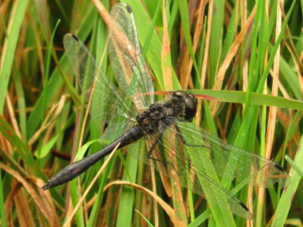 Zwarte heidelibel (Sympetrum danae) mannetje